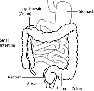 Diagram of stomach including intestines and the colon